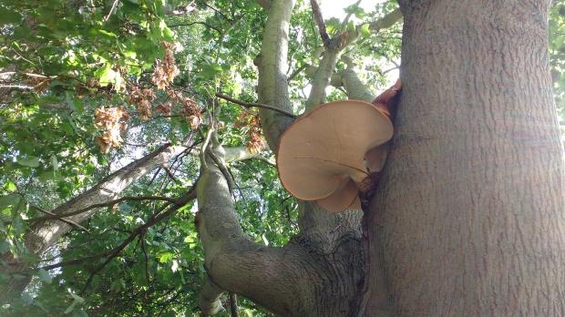 fungus-on-norway-maple