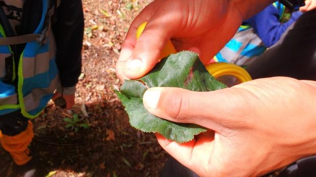 looking-at-a-leaf-miner-larvae