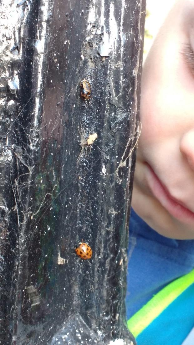 hatched-ladybird